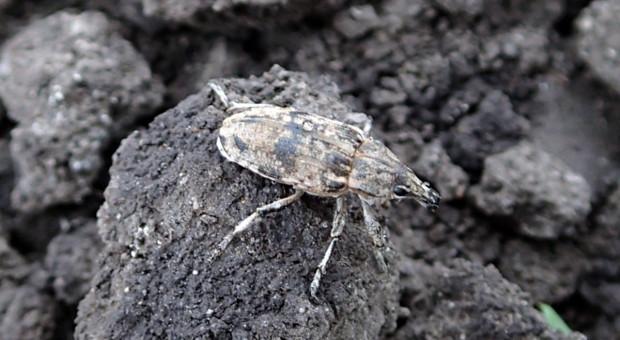 Kolejny insektycyd do zwalczania szarka komośnika