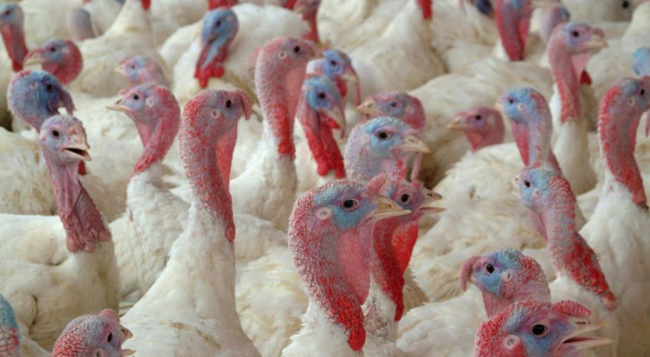 Ognisko grypy ptaków w woj. lubuskim. Do utylizacji prawie 30 tysięcy indyków