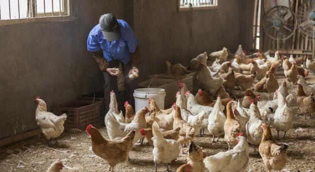 Białoruś z powodu grypy ptaków ogranicza import drobiu z Polski i Niemiec