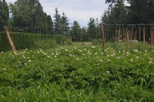 Ziemniaki ekologiczne i bezorkowe