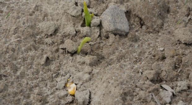 Siew kukurydzy w tym tygodniu ryzykowny