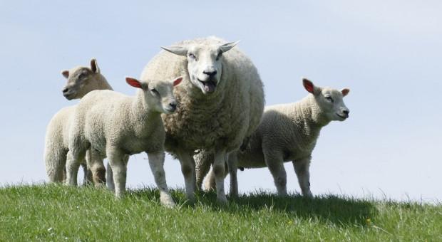 Bieszczady: pogoda i turyści sprzyjają wypasowi owiec