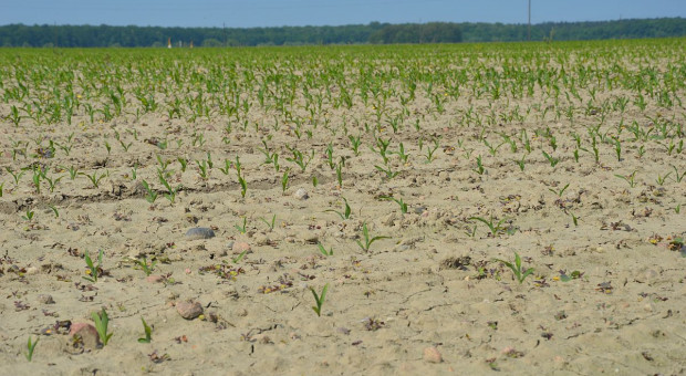 Jak uchronić kukurydzę przed szkodnikami?