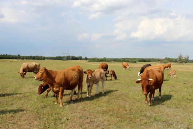 Okiem Farmera: Rynek wołowiny niestabilny od ponad 1,5 roku