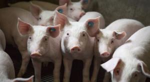 Do likwidacji 10 tys. świń w ognisku ASF, w Wielkopolsce