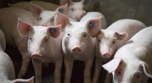 Do likwidacji 10 tys. świń w Wielkopolsce