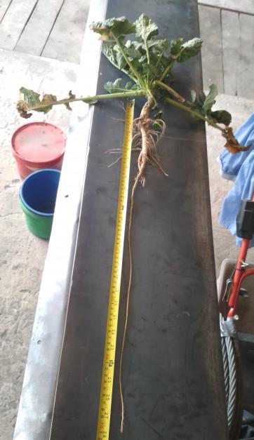 Na polach pana Marcina korzenie rzepaku nierzadko sięgają 1 m. Zdaniem rolnika, w dużym stopniu to zasługa głębokiej aplikacji nawozów i tym samym zwiększania zasobności składników w głębszych warstwach gleby.