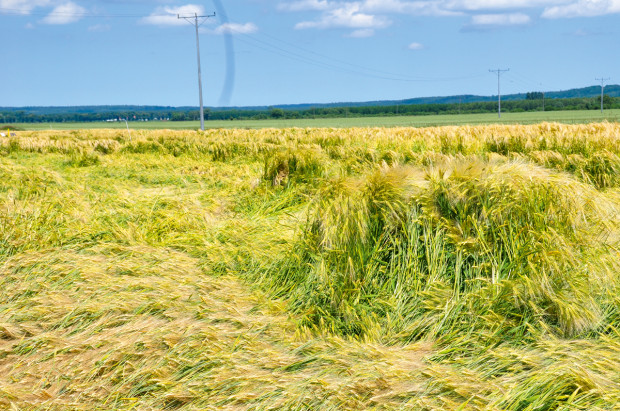 Stosowanie regulatorów wzrostu wzbożach ozimych