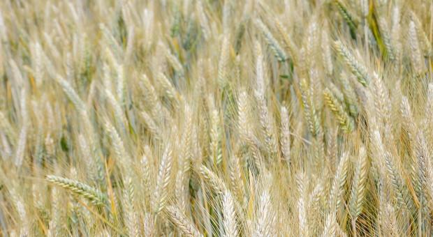 Poziom agrotechniki aplonowanie pszenżyta