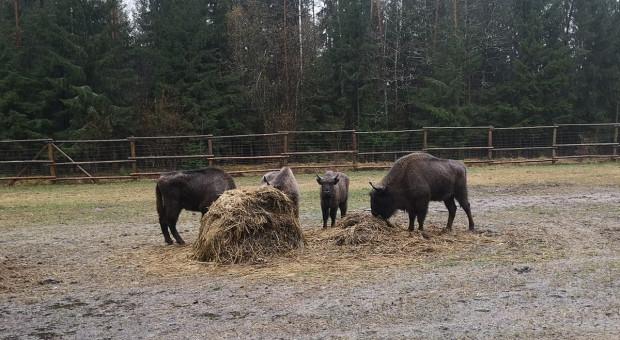 Nowe żubry już na wolności w Puszczy Augustowskiej
