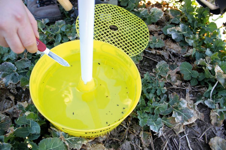 Chowacze łodygowe zimują jako dorosłe chrząszcze na polach, na których wcześniej uprawiano rośliny kapustowate, zdjęcia: Przemysław Strażyński