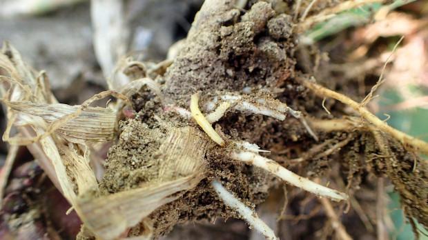 Szkodniki glebowe czyhają na kukurydzę – cz. 1