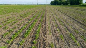 Po lewej stronie zdjęcia plantacja buraka cukrowego po zabiegu pielnikiem, po prawej bez użycia pielnika, termin siewu ten sam