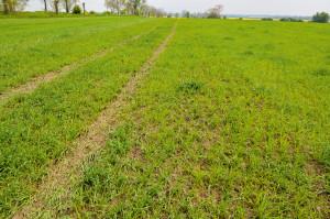 """Tak wygląda plantacja zboża ekologicznego po pierwszym przejeździe chwastownikiem, """"ślad"""" po przejeździe ciągnika nie będzie widoczny po jakimś czasie"""