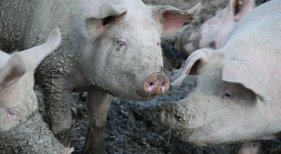 Rosja: Produkcja przemysłowa świń wzrosła o ponad 10 proc.