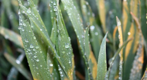 Dokarmianie dolistne pomocne w warunkach suszy