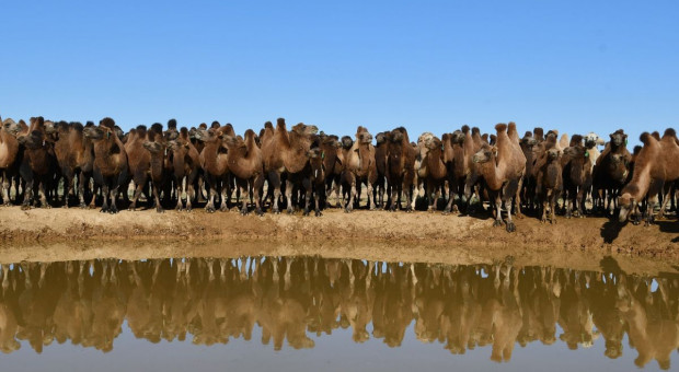 W Australii odstrzał sanitarny… wielbłądów
