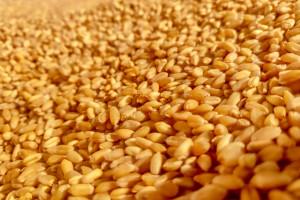 Pszenica podrożała – brakuje kukurydzy na rynku