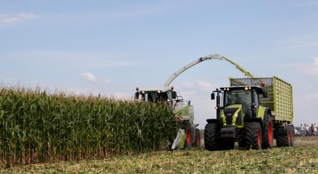Jakie odmiany wybierać na kiszonkę z kukurydzy?