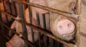 452 gospodarstwa z bezwzględnym zakazem przemieszczania świń