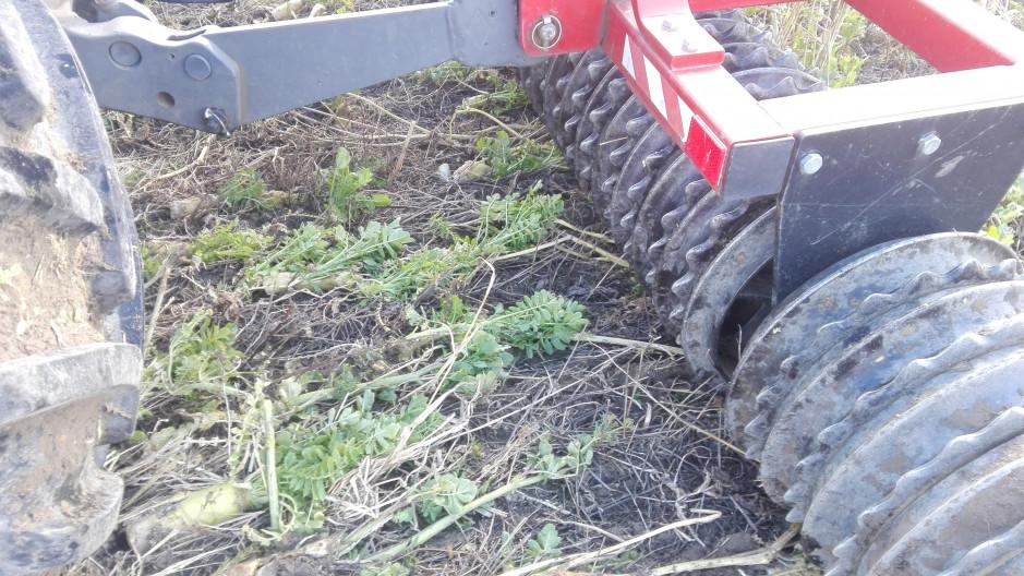 Wał z Expomu zmiażdżył i połamał rzodkiew i inne rośliny poplonowe.