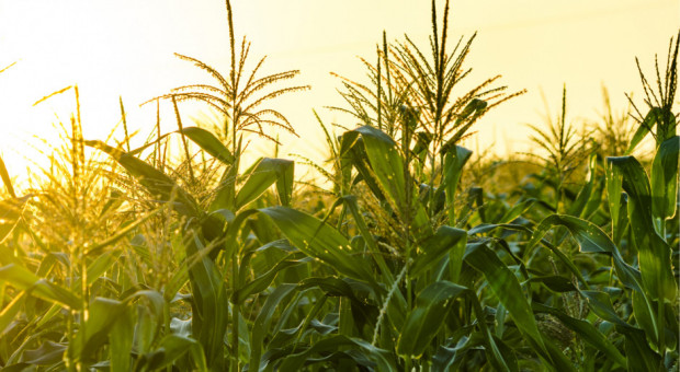 Amerykańska kukurydza najtańsza od 4 lat