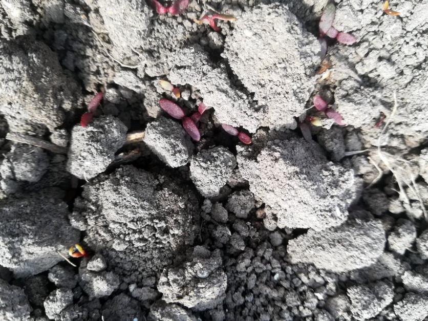 Ważne, by herbicydy doglebowe stosować na starannie uprawioną (bez grud) glebę. W przeciwnym przypadku musimy się liczyć ze słabszym ich działaniem