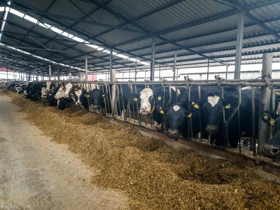 Czynniki wpływające  na stan racic u bydła