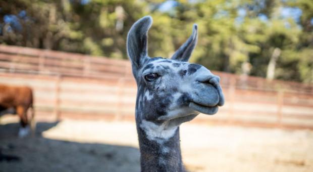 Farma w Kalifornii oferuje wideokonferencje ze zwierzętami