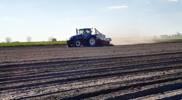 Kukurydza siana w pył