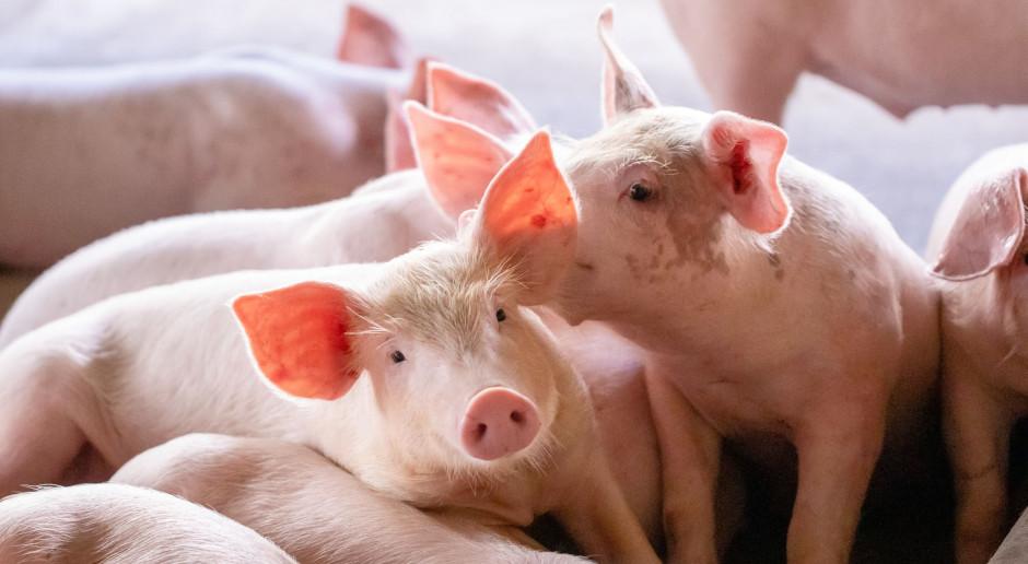 Czego oczekują hodowcy świń w zakresie zwalczania ASF?
