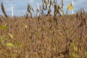 Soja drugą kukurydzą?