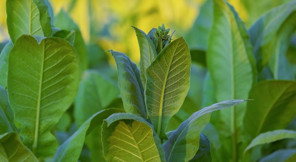 KOWR prosi plantatorów tytoniu o informacje