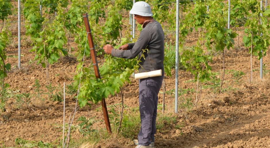 Hiszpania: pomimo bezrobocia brakuje rąk do pracy przy zbiorach