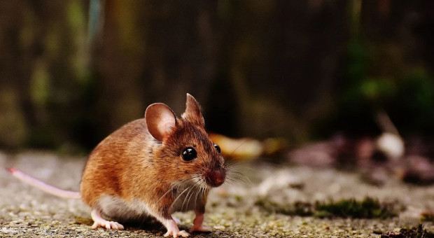 Plaga gryzoni zagraża uprawom na Opolszczyźnie