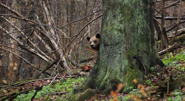 Leśnicy ostrzegają przed niedźwiedziami. Pszczelarze mogą mieć kłopoty