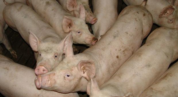 Z powodu koronawirusa rolnicy są zmuszeni do uboju świń