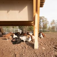 Gdy cała farma zostanie ukończona, możliwe będzie zwiększenie wydajności konstrukcji modułowej, w której obecnie przebywa 800 kurcząt, poprzez dodawanie nowych modułów kurnika. Foto. Alí Taptik