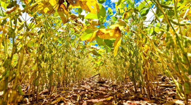 Chwasty w uprawach strączkowych - jaki herbicyd wybrać?