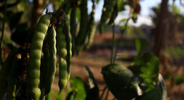 Finlandia podnosi premie za uprawę roślin wysokobiałkowych i oleistych
