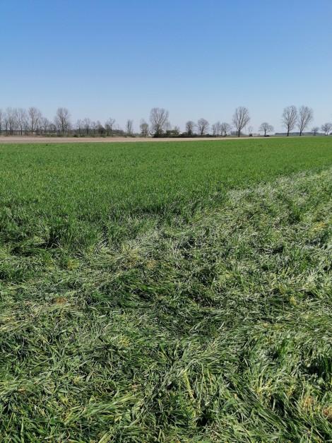Siew kukurydzy odbywał się w momencie, kiedy żyto wchodziło w fazę kłoszenia. fot. M. Gniatkowski.