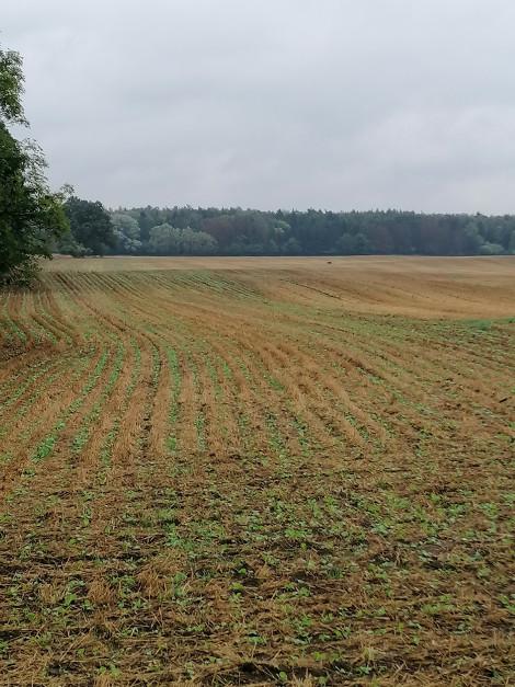 W uprawie zerowej pan Mateusz uprawia kukurydzę, soję oraz owies. fot. M. Gniatkowski.