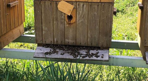 Kto truje pszczoły w pasiekach pod Skierniewicami? Jest nagroda za wskazanie sprawcy