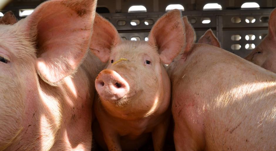 Wielkopolska: Problem ze sprzedażą świń z niebieskiej strefy ASF
