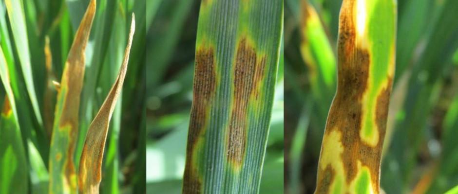 Objawy septoriozy paskowanej liści.