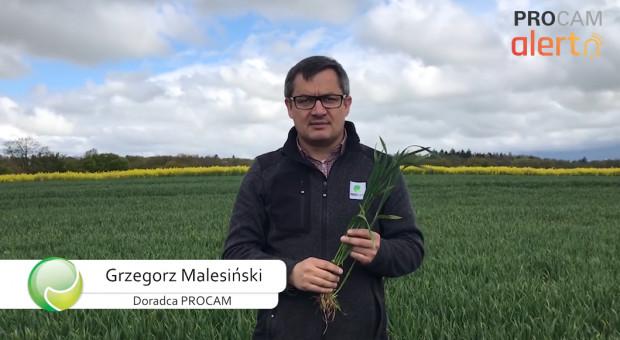 Ochrona i odżywanie zbóż w T2