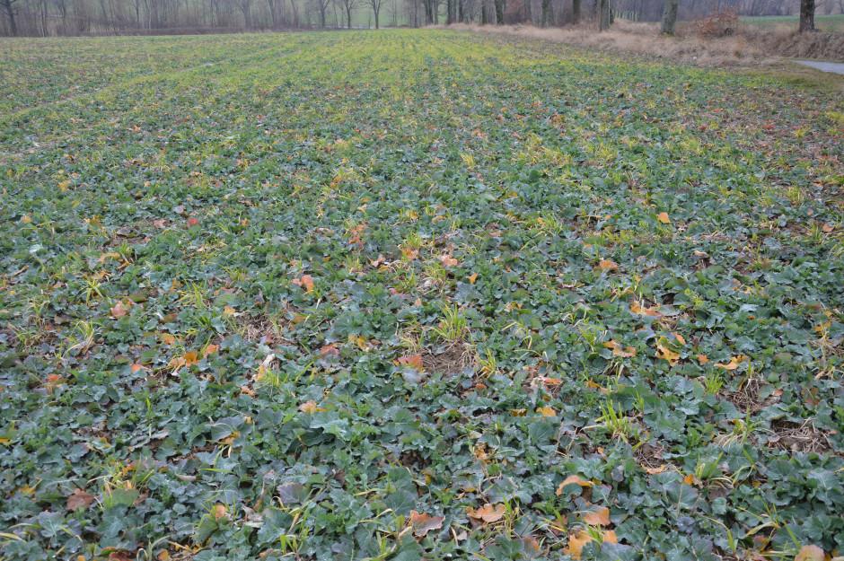 Samosiewy jęczmienia jarego w rzepaku to celowy zabieg ze strony rolnika – chronią one plantację przed wiatrami, żywią się nimi także jeleniowate, zostawiając rzepak w spokoju.