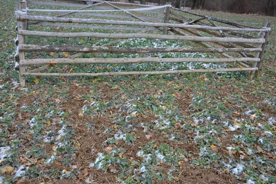 Dużym problemem w rzepaku są szkody wyrządzane przez stada jeleni, które zimą schodzą z gór w poszukiwaniu pożywienia (w ogrodzeniu rzepak nie zgryziony przez zwierzęta).