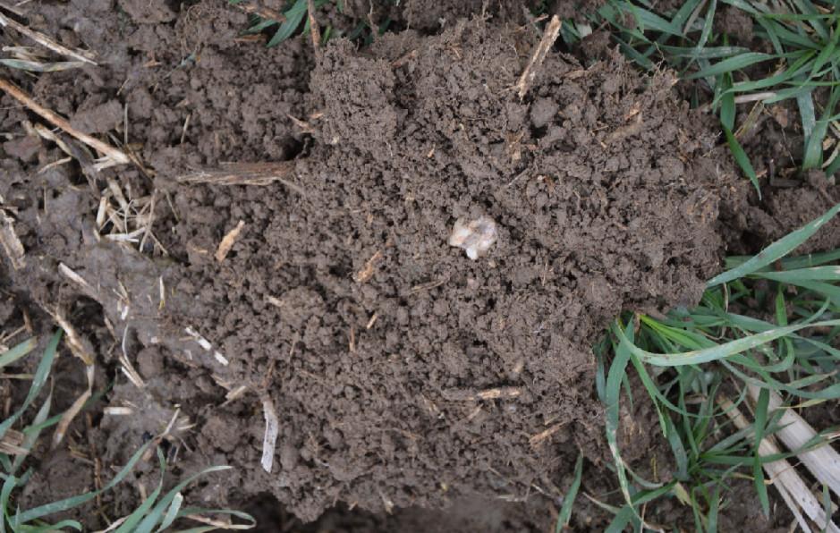 Po tak długim okresie uprawy bezorkowej gleba ma bardzo dobra strukturę i stała się łatwiejsza w uprawie.