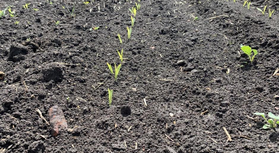 Stan kukurydzy w kraju – długie wschody roślin